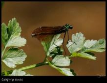Calopteryx femelle