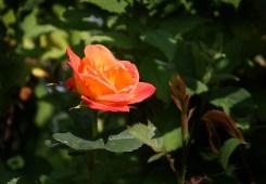 Rose_0593