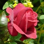 rose 00949-base