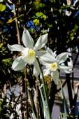 Narcisses du jardin