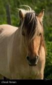 Le cheval henson de la baie de SOmme