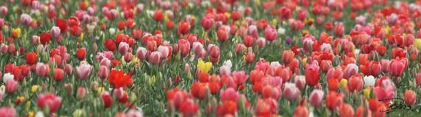 Les tulipes de La-Torche