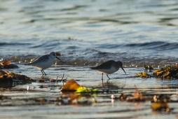 Bécasseaux sanderling et variable