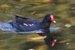 Galinule - Poule d'eau