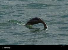Le plongeon du cormoran
