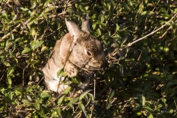 Lapin gourmand, lapin grimpeur