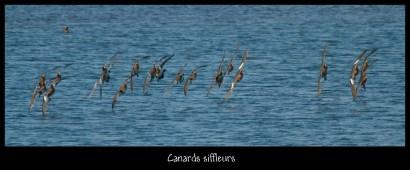 Canards siffleurs