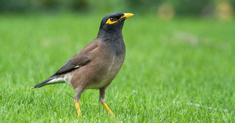 The Bird still sings
