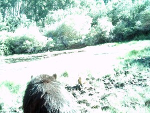 Bear caught by the game cam