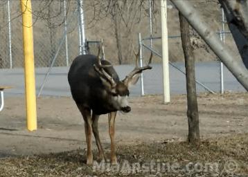 Mule deer buck muck gland