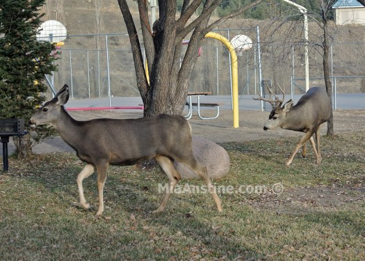 Mule deer doe & buck rutting Colorado