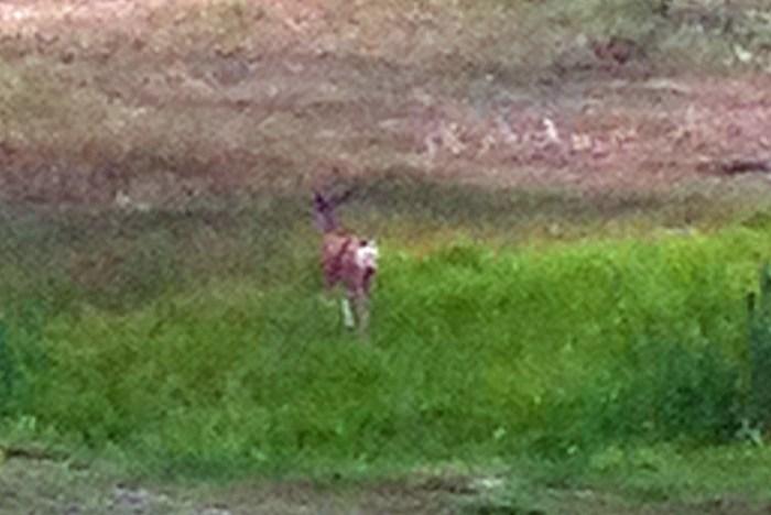 young-mule-deer-buck-2