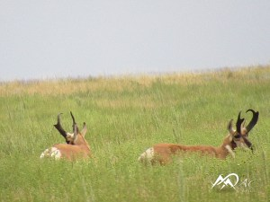 pronghorn-buck-antelope-by-Mia-Anstine