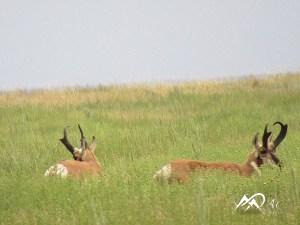 pronghorn-buck-antelope-by-Mia-Anstine