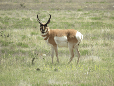 Antelope-buck-pronghorn-Mia-Anstine-photo