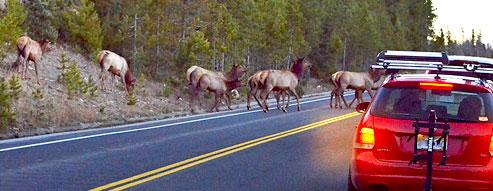 Elk Herd Crossing Road