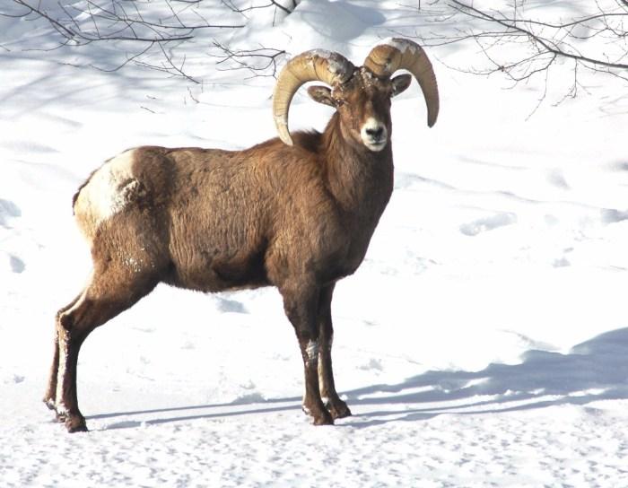 big-horn-sheep-ram-cpw-0b45df53-2dae-444d-9eba-da11a200439e