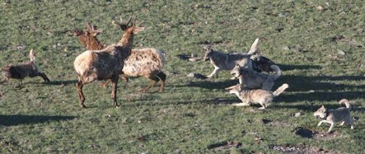 wolves_chase_elk_rmef-photo