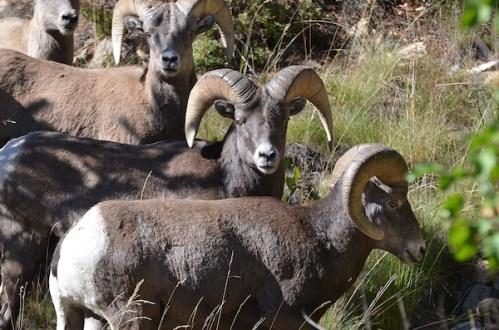 Big-Horn-Sheep-Rocky-Mountains-Colorado-CPW-ea30b3fe-343e-43cf-8396-719134798c2d