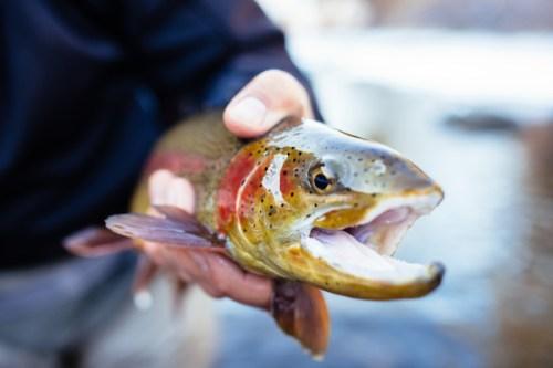 Rainbow-trout-CPW-3e46e304-481d-434b-adec-8877d89bdcae