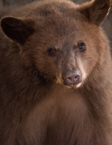bear-cubs-5806_crop-NMDGF