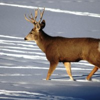 Antler Collecting Rules Changed - Colorado