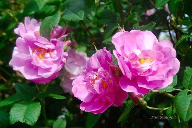 Roses for Rose flavoured lemonade