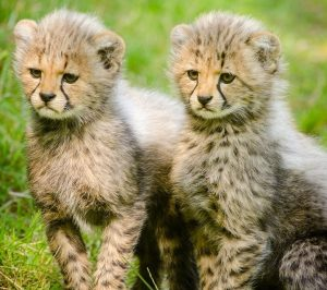 PARDON MY OPINION: I SHOULD BE ABLE TO WALK MY CHEETAHS WHERE I DAMN WELL PLEASE