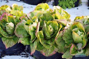 Swank Farms - Gauchos Asado Dinner - Red Leaf Lettuce