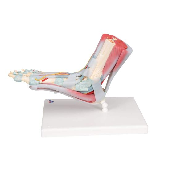 3B Scientific M341 Foot Skeleton Model with Ligaments and Muscles5