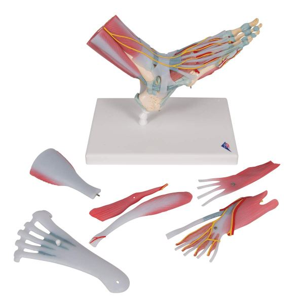 3B Scientific M341 Foot Skeleton Model with Ligaments and Muscles7