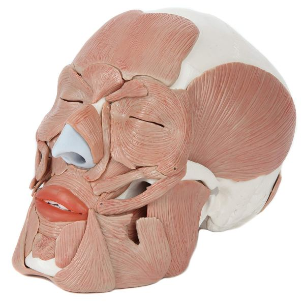 Axis Scientific 3-Part Human Skull Model with 40 Removable Muscles