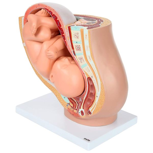 Axis Scientific Anatomy Model of Pregnancy Pelvis2