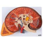 Axis Scientific Human Kidney Model