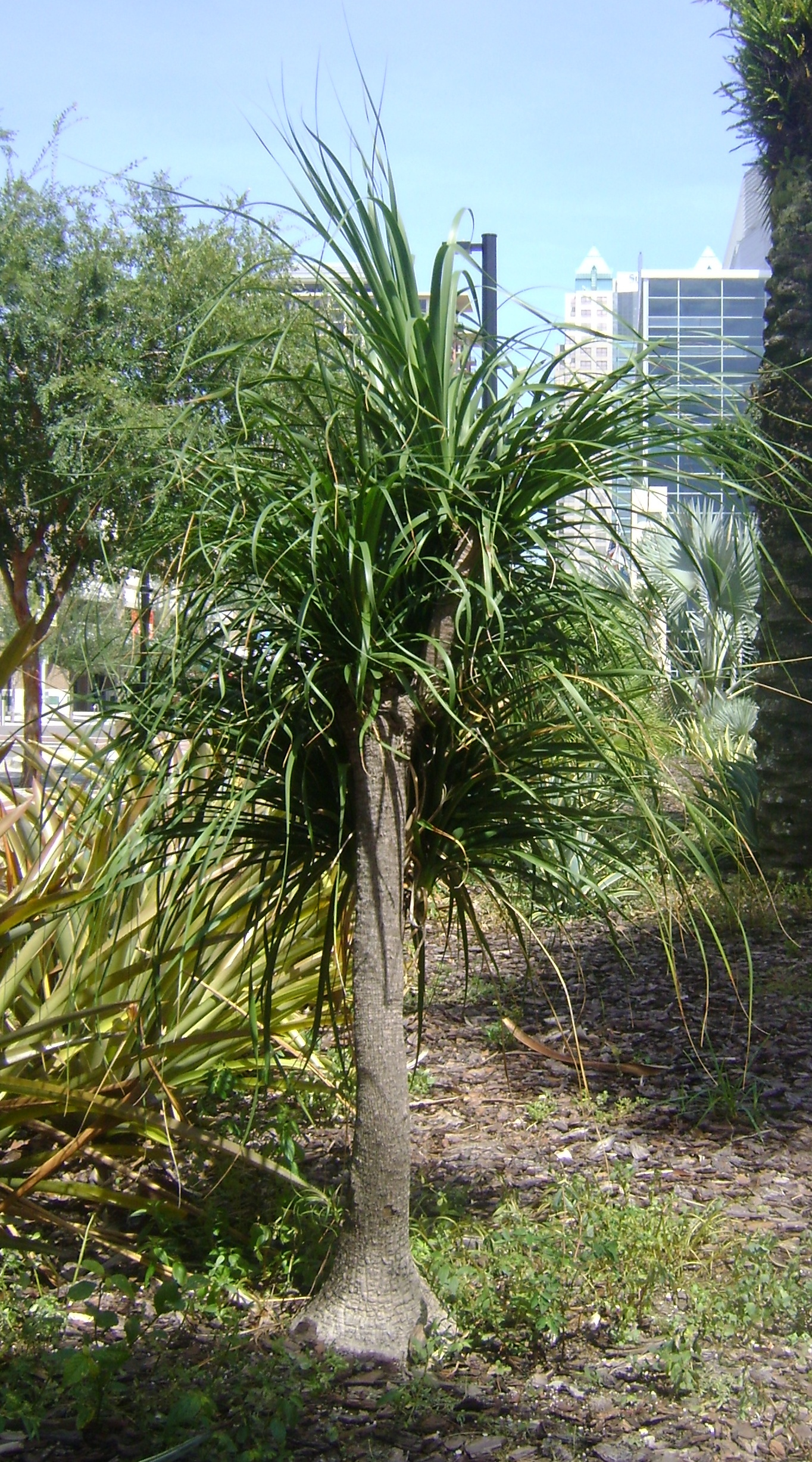 Buy Ponytail Palm Trees in Miami Ft Lauderdale Kendall