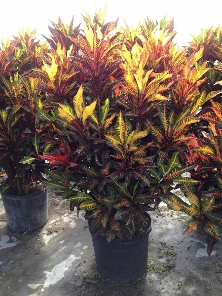 Purple Bamboo Plant Sale