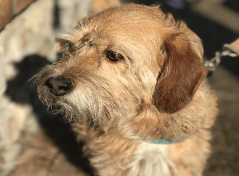 Read more about the article Borkie  is a cross between Yorkshire Terrier & Beagle.