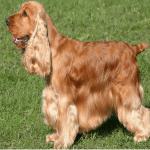 Do English Cocker Spaniels Bark a Lot?