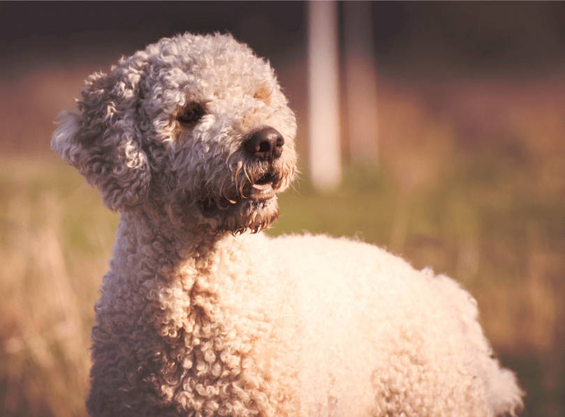 Read more about the article Lagotto Romagnolo Helpful Information for Pet Owners