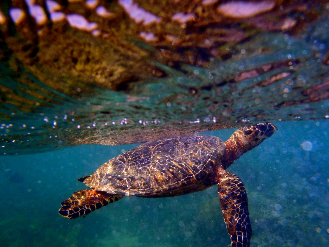 Carey en aguas de la Reserva Natural. Foto: COSUAM