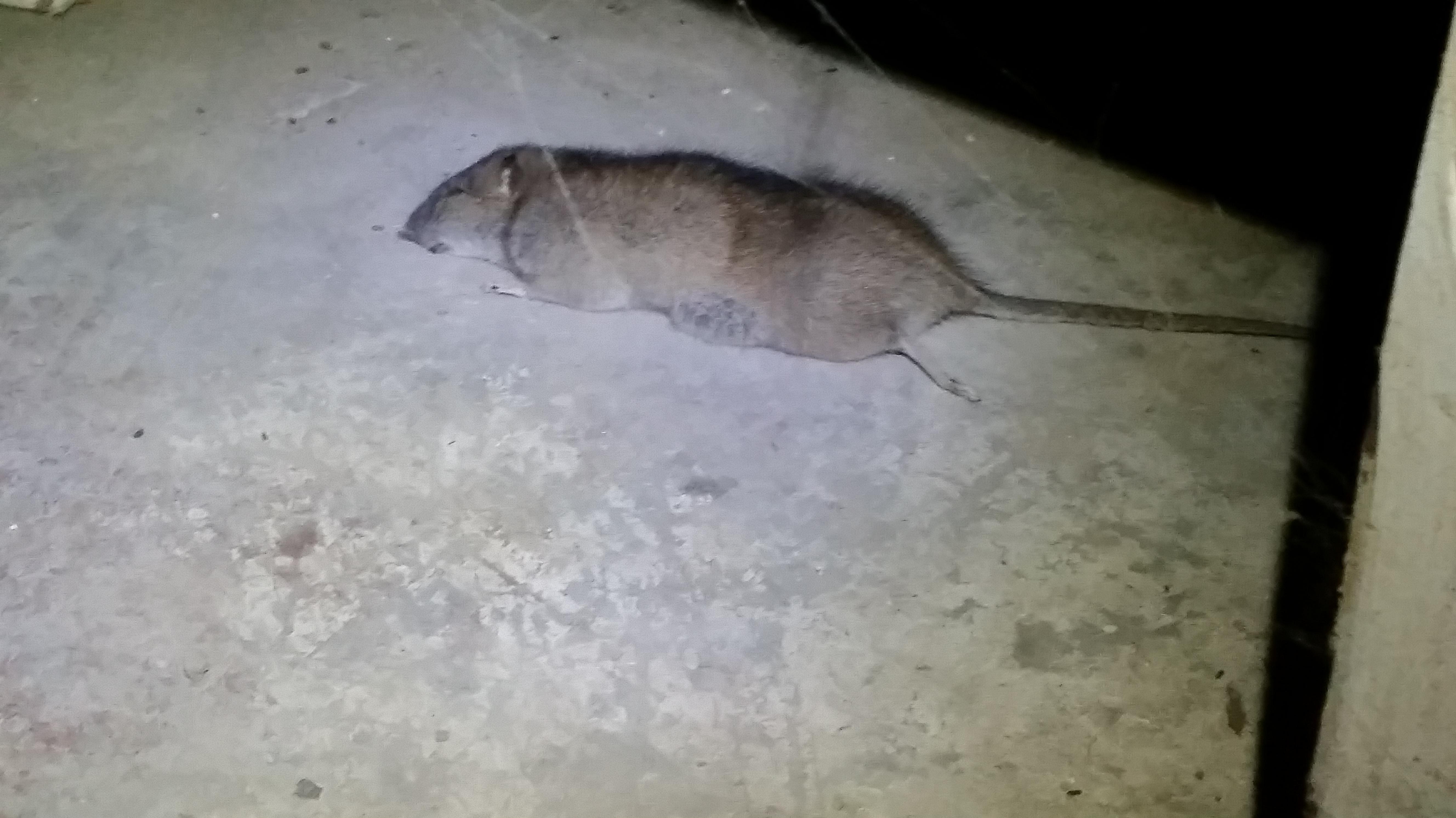 Rat Removal And Control Birmingham, Mi  Michigan Bat