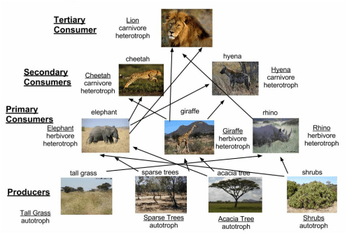 african elephant food chain diagram automobile wiring asian part one this shows the levels of consumers in pyramid they are herbivores and there gets consumed by predators belong primary