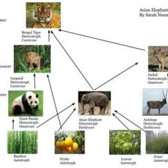 African Elephant Food Chain Diagram Dcc Layout Wiring Model Train Diagrams Free Engine Image Asian Part One The Predators Are Ones At Top Of And Preys Bottom Elephants Herbivores