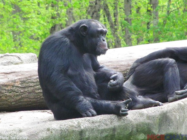 One of the larger exhibits houses several Chimpanzees.