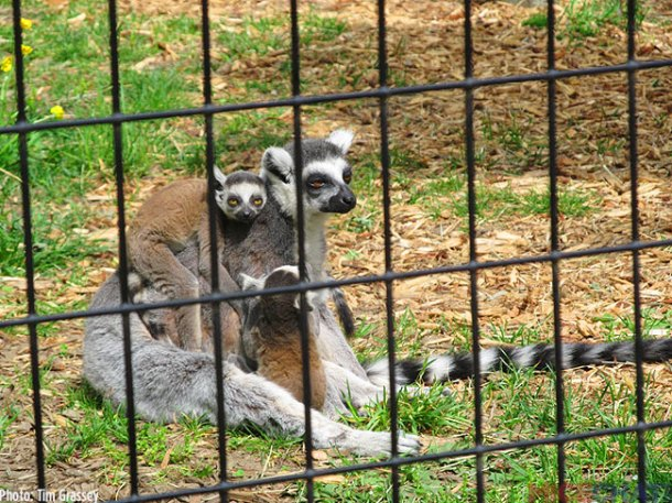 A mother Ring-tailed lemur with two babies