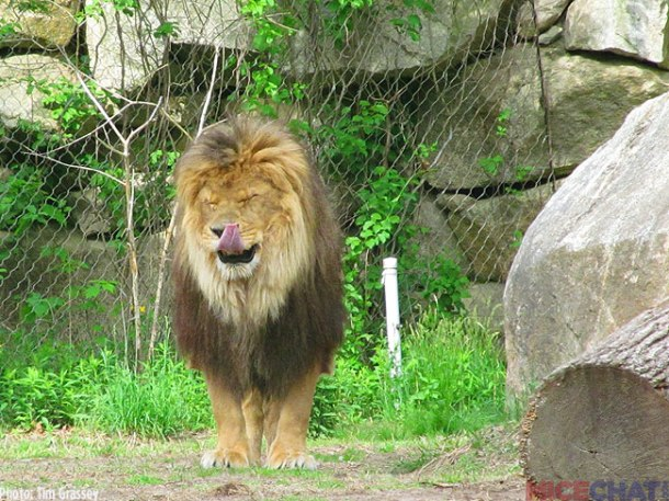 A rarity at zoos, the lions were awake and playing