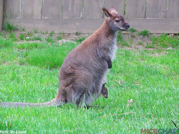 3-Bennets-Wallaby