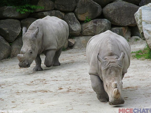 34-White-Rhinoceros