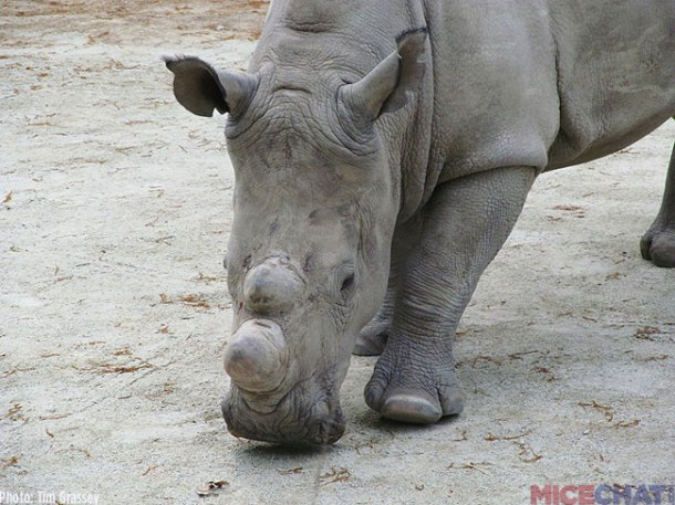 36-White-Rhinoceros