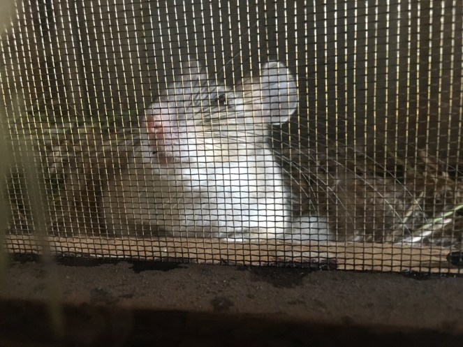 This field mouse was living between the window and the outside shutter. It was adorable and did not care about us at all.